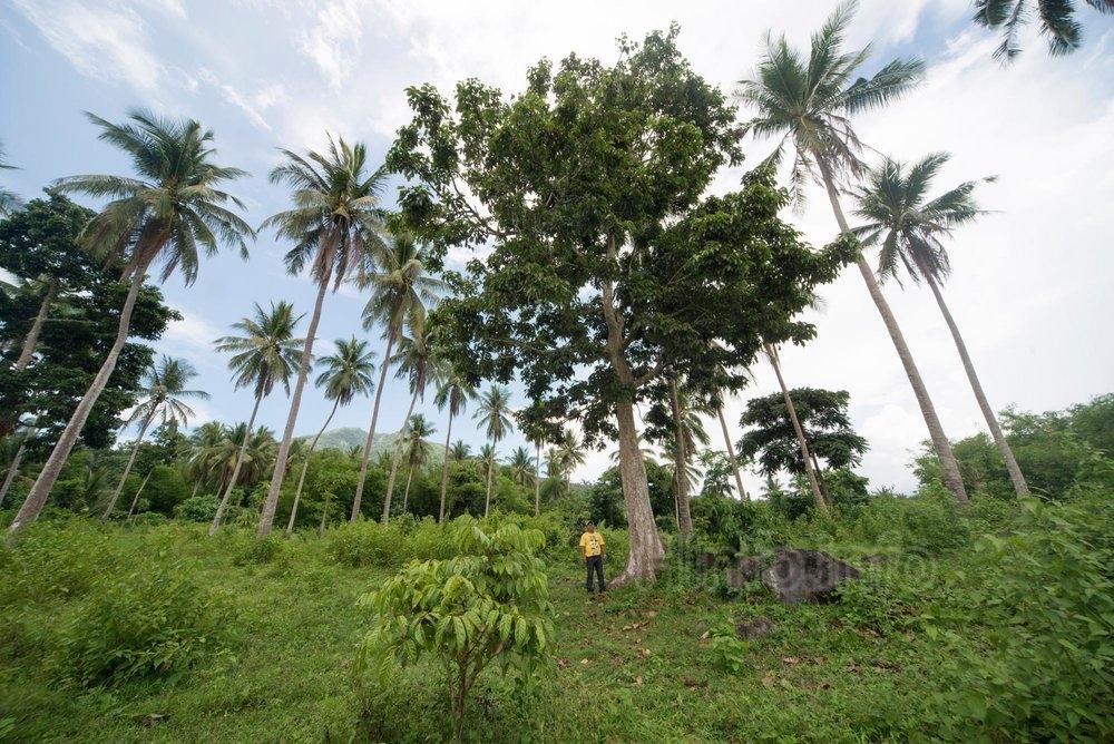 Дерево Elemi вырастает до 30 метров (98 футов).