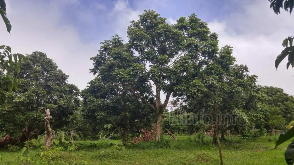 Дерево Elemi произрастает в регион Бикол на Филиппин и Молуккских островах.